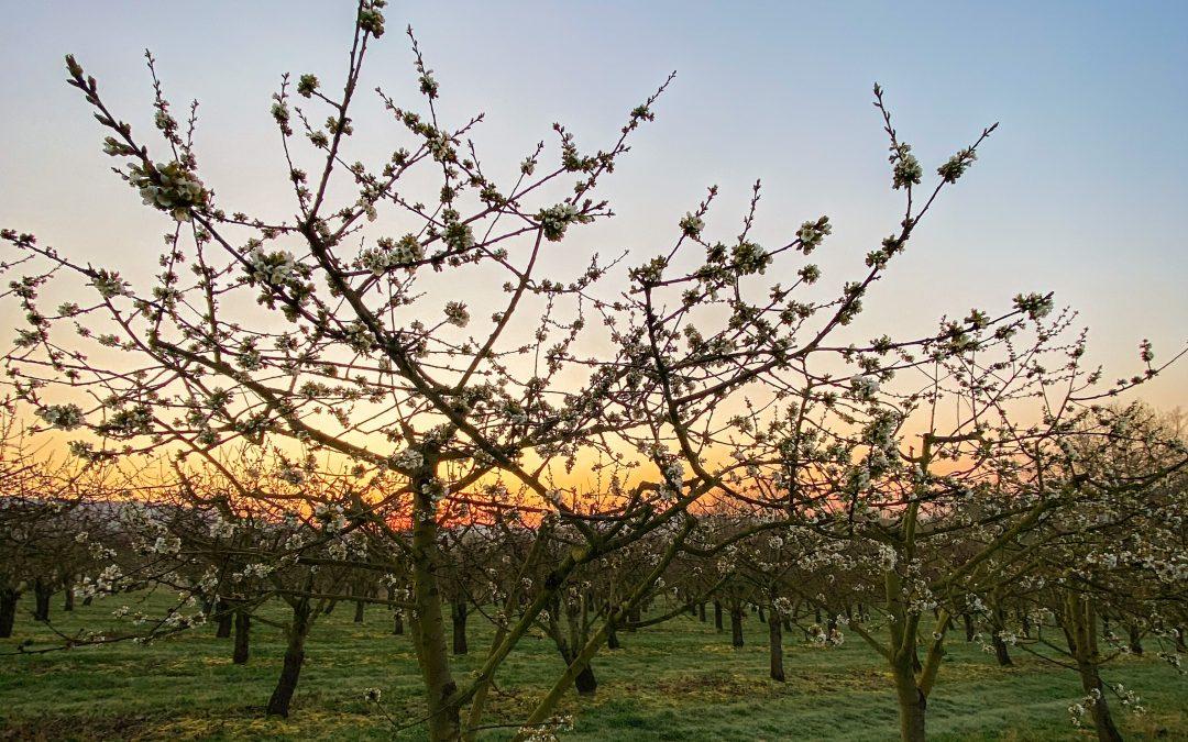 Update zur Kirschblüte
